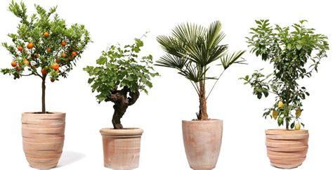 terracotta pflanzkübel pansu pflanzk 252 bel rossini terracotta palmenmarkt