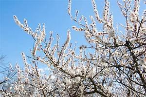 Bäume Verschneiden Obstbäume : aprikose schneiden so verschneiden sie den baum ~ Lizthompson.info Haus und Dekorationen