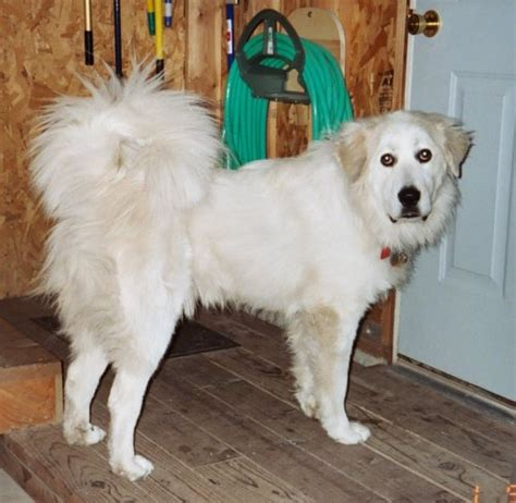 great pyrenees shedding coat blowing breeds picture