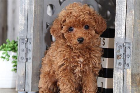 Bridget Female Toy Poodle Puppies Online