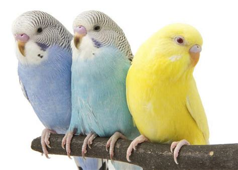 birds as pets choosing the right pet bird