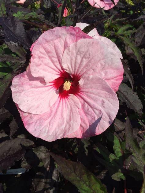 hibiscus moscheutos carousel groen direkt boskoop