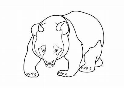 Panda Coloring Pages Bear Adult Sheets Sheet