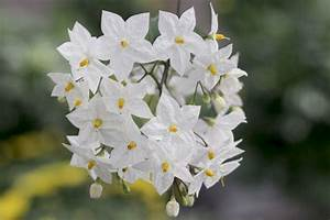 Jasmin Pflanze Pflege : wei er jasmin sommerjasmin solanum laxum jasminoides pflege ~ Markanthonyermac.com Haus und Dekorationen