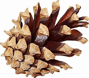 Pine Cone Side transparent PNG - StickPNG