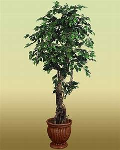 Ficus Benjamin: guida completa alla coltivazione e cura