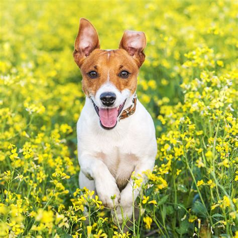 hypoallergenic dogs unravelling  persistent myth