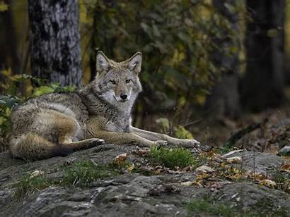 Wolf Coyote Animal North Than Gray Smaller