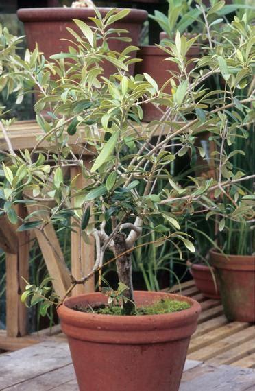 olivenbaum schneiden mein schoener garten