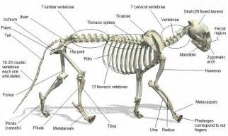 anatomy of a cat about cats cat anatomy