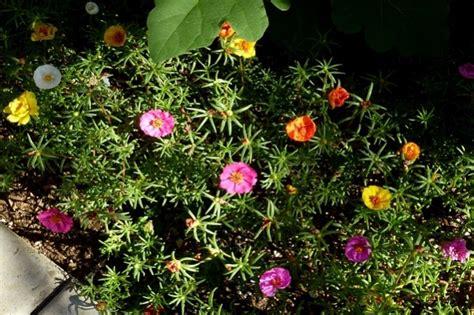 menawan tanaman mungil tahan panas siapa