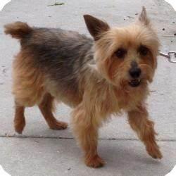 Sunshine   Adopted Dog   Jacksonville, FL   Yorkie ...