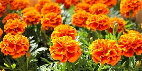 marigold insect repellent 12 garden plants that repel mosquitos so you can enjoy being outsideliving rich with coupons 174