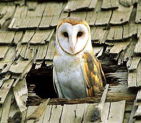 barn owl the white masked ghost owl animal pictures