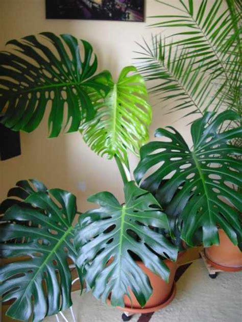 ableger monstera mein pflanzenblog