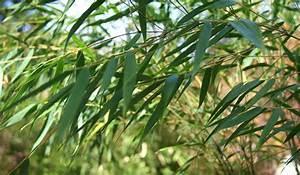 Bambus Pflegen Zimmer : zimmerbambus online kaufen zimmerbambus 39 monica 39 ~ Lizthompson.info Haus und Dekorationen