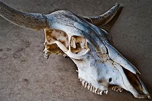 Old Weathered Cow Skull Stock Photo  Image Of Grunge
