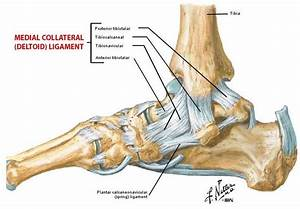 Pictures Of Ankle Joint  Deltoid Ligament