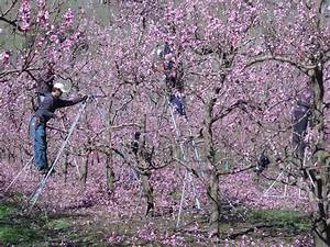 Tailler Les Kiwis : peaches prunning taille des pechers si cest pas jolie voyage chez les kiwis ~ Farleysfitness.com Idées de Décoration
