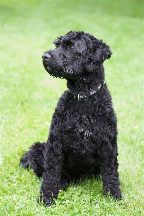 portuguese water dog breed information