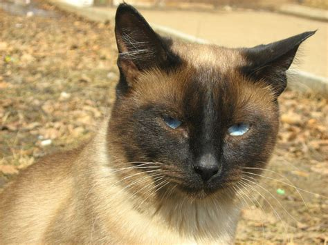 Siamese Cat Wallpapers Hd Download