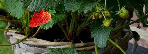 planter et cultiver des fraisiers en pot
