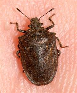 Stink Bug Washington
