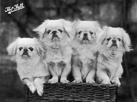 group   white pekingese puppies   basket owned