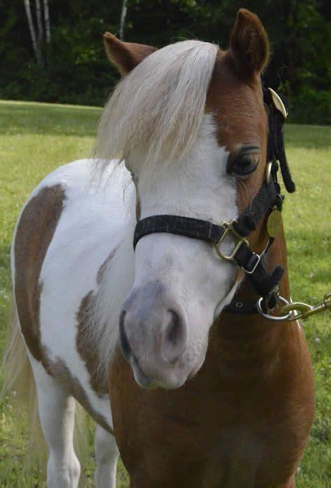 looking pet horse mini adult temperament miniature horses magic homes minihorsesales mares wonderful