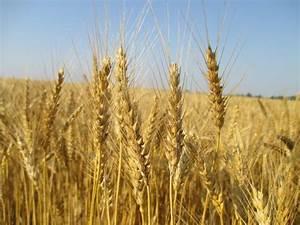 Grain Crops Update  Preparing For The Winter Wheat