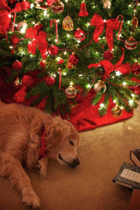 cute dog sleeping   christmas tree pictures