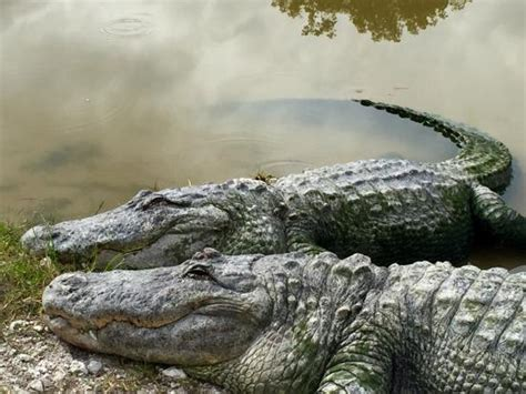 Airboat Rides And Zoo by At The Alligator Zoo Picture Of Wooten S