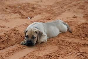 File:Bullmastiff puppy.jpg - Wikimedia Commons