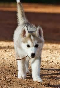 Light Brown Siberian Husky Puppy