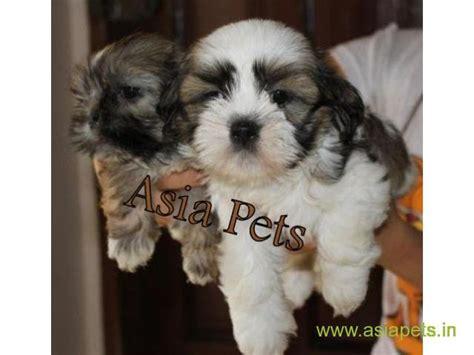 lhasa apso puppies  sale  vijayawada   price