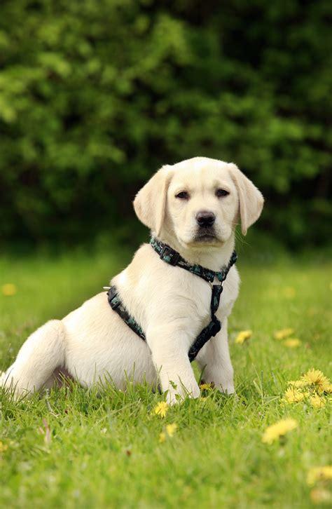 labradorwelpe mit hundegeschirr im gras dogworkz