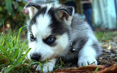 Siberian Huskies Wallpapers Husky Iphone Animal