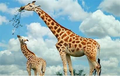 Giraffe Wallpapers Achtergronden Een Moder Jong Haar