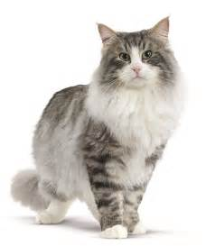 forest cat for cat breeds forest cat royal canin