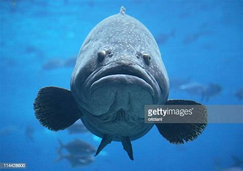 fish grouper goliath giant water