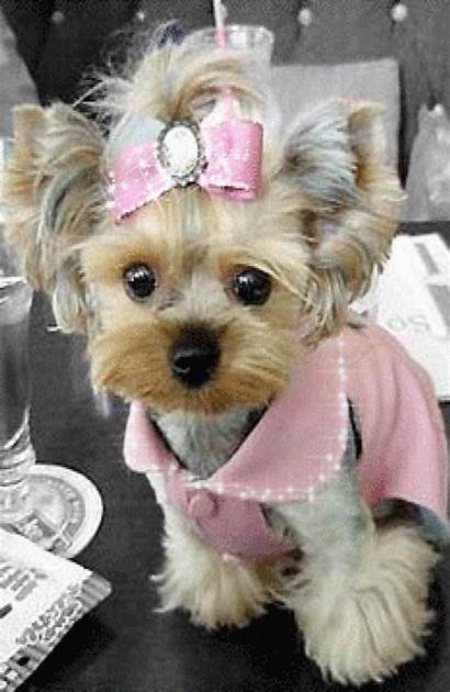 Puppies Teacup Yorkshire Hello Yorkie Dogs Terrier