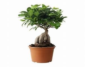 Bonsai Ficus Ginseng : ficus microcarpa ginseng bonsai ~ Buech-reservation.com Haus und Dekorationen