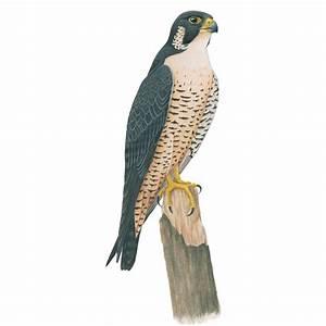 Peregrine Falcon   CUBS  Falcon