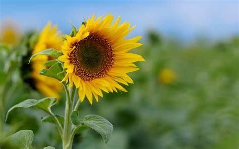 rastafari die sonnenblume