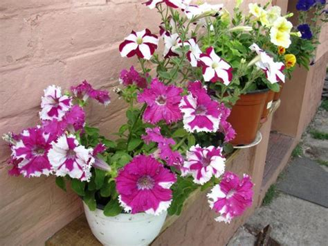 growing petunias in pots 25 beautiful backyard ideas for growing petunias in containers