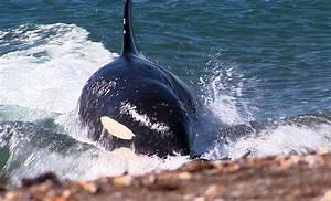 Killer Whale Attack  Orca Beaches Itself To Ambush Seals