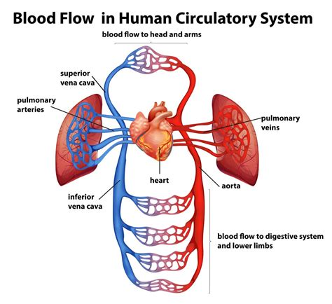 Veins (in blue) are the blood vessels that return blood to the heart. Narrow Blocked Artery Surgery Treatment Singapore |Safe Fast
