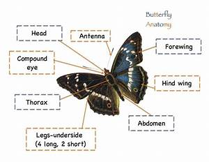Butterfly Anatomy Worksheet