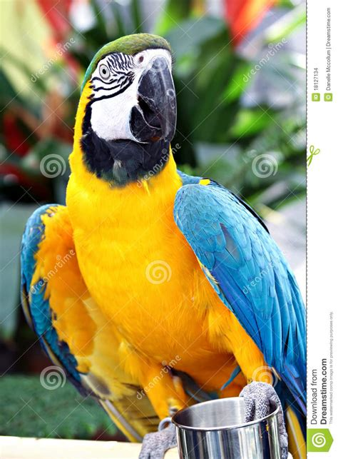 yellow  blue parrot stock images image