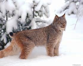lynx cat lynx cat images lynx hd wallpaper and background photos